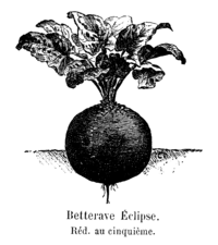 Betterave Eclipse.png