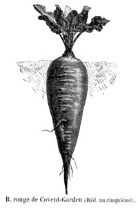 Betterave rouge de Covent-Garden Vilmorin-Andrieux 1904.png