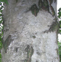 Betula pendula bark JR Press 870a.jpg