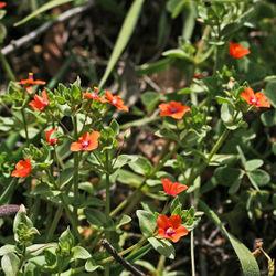Anagallis arvensis var. arvensis, Blühende Pflanze