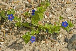 Anagallis arvensis var. caerulea, Algarve, Salzmarsch südlich Castro Marim, 28. März 2010.