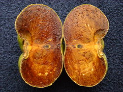 alt=Description de l'image BlackSapote Cupidon3 Asit.jpg.