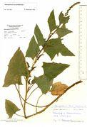 Blitum bonus-henricus: Zweig einer Pflanze mit ersten Früchten, Westfalen, Kleinenbremen, leg. Farenholtz, 14.06.1994 (Herb. MSTR) (Foto: Rolf Wißkirchen)