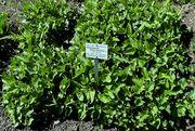 Blitum bonus-henricus: austreibende Pflanzen im Frühling, Bot. Gärt. Bonn, 29.04.2013 (Foto: Rolf Wißkirchen)