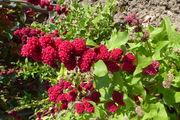 Blitum capitatum: Zweig von nahem mit beerenartig verwachsenen 3-zähligen Blütenhüllen, Bot. Gärt. Bonn, 10.07.2013 (Foto: Rolf Wißkirchen)
