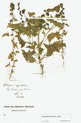 Blitum capitatum: fruchtende Pflanze, Rheine, ex horto meo, leg. Brockhausen, 8?/1912 (Herb. MSTR) (Foto: Rolf Wißkirchen)