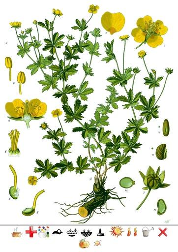 Blutwurz (Pflanzentafel Natura Miriquidica e.V.).pdf