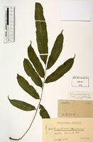 Bolbitis acrostichoides