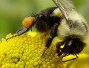 Hummel mit gelbem Pollen im Pollenkörbchen an den Hinterbeinen