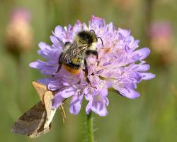 Waldhummel: Männchen - Ivar Leidus, CC BY-SA 4.0
