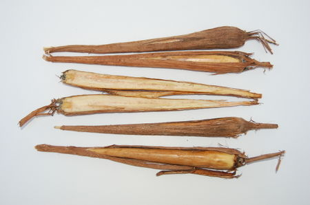 Borassus flabellifer seedlings cut Paris.JPG