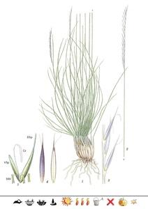 Pflanzentafel Borstgras  als PDF-Datei