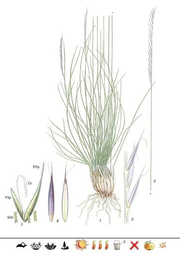 Borstgras (Pflanzentafel Natura Miriquidica e.V.).pdf