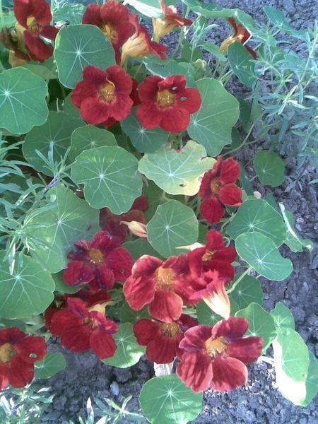 Fichier:Brassicales - Tropaeolum majus 5 - 2011.07.17.jpg