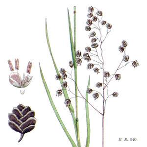 Gemeines Zittergras mit Blütenähre, Teil des Stengels, Einzelblüte (l.) und Ährchen (l.u.)—Abbildung aus Boswell u.a. (English Botany, Bd.11, 1872)