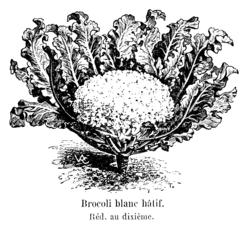 Brocoli blanc hâtif Vilmorin-Andrieux 1904.png