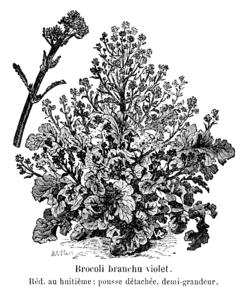 Brocoli branchu violet Vilmorin-Andrieux 1904.png
