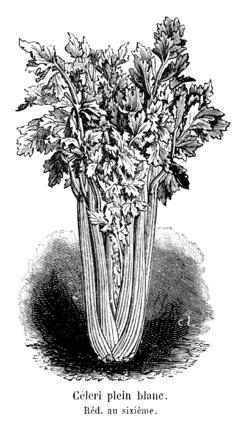 Céleri plein blanc Vilmorin-Andrieux 1904.png