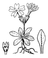 Ganzrandige Primel (Schematische Zeichnung Coste & Flahault 1903)