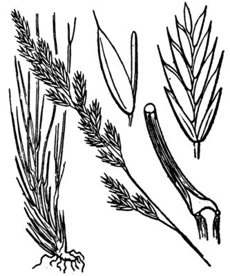 (Zeichnung Coste & Flahault 1906)