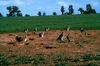 CSIRO ScienceImage 1147 European rabbit.jpg