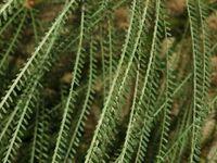 Caesalpiniaceae - Parkinsonia aculeata-2.JPG