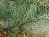 Caesalpiniaceae - Parkinsonia aculeata-4.JPG