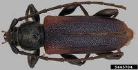 Callidiellum rufipenne IPM5445704.jpg