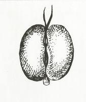 Callitriche cophocarpa (M. Breitfeld).jpg
