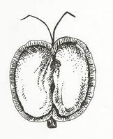 Callitriche platycarpa (M. Breitfeld).jpg