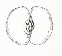 Callitriche truncata (M. Breitfeld).jpg