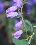 Vier geschlossenen Blüten, die dritte von links ist seit drei Tagen geschlossen. Rechts kommt eine kleine Biene mit roten Pollenhöschen angeflogen: Osmia rapunculi. (Bild: W. Wohlers)