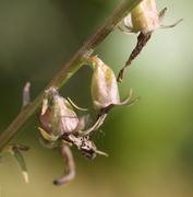 Die Kelchblätter wachsen mit der Frucht; ihre langen Spitzen bleiben erhalten. (Bild: W. Wohlers, JKI)