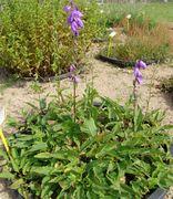 Im Unkrautgarten des JKI bildet die Acker-Glockenblume in den Bottichen einen dichten Bestand. (Bild Arno Littmann, JKI)