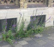 Trotz des offensichtlich nicht optimalen Standorts sind die Pflanzen hier 1,10 m hoch. Sie haben keine Konkurrenz. (Bild: W. Wohlers)