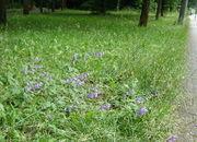 Auf wenig gemähten Rasenflächen gedeiht sie ganz gut. (Bild: W. Wohlers)