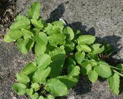 Die ersten herzförmigen Grundblätter im Frühjahr. Unter Betonplatten wächst sie bis zum nächsten Spalt. (Bild: W. Wohlers, JKI)