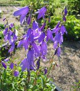 Die Stängel können fünf oder mehr geöffnete Blüten gleichzeitig tragen. (Bild:Arno Littmann, JKI)