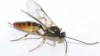 Campoletis sonorensis PLoS ONE 2015 12 e0144598.png