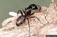 Camponotus pennsylvanicus IPM1435184.jpg