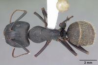 Camponotus pennsylvanicus casent0103694 dorsal 1.jpg