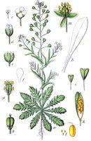 Capsella bursa-pastoris Sturm23.jpg