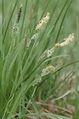 Carex.nigra.2.jpg