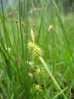 Carex flava.jpg