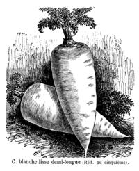 Carotte blanche lisse demi-longue Vilmorin-Andrieux 1904.png