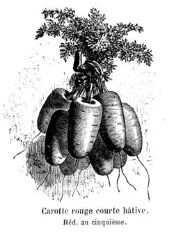 Carotte rouge courte hâtive Vilmorin-Andrieux 1904.png