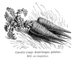 Carotte rouge demi-longue pointue Vilmorin-Andrieux 1904.png