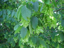 Carpinus betulus fruits 375.JPG