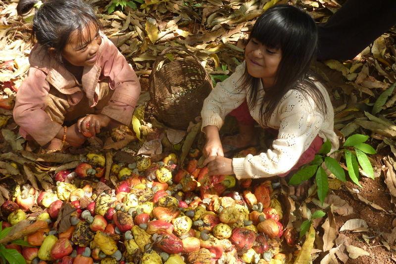 Fichier:Cashew Nuts ernten mit Family Thong in Ratanakiri 15.JPG