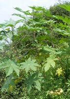 Castor (Ricinus communis) threes near a creek. Thane, Maharashtra..jpg